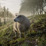 Why studying the behavior of sheep matters to market intelligence